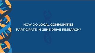 How do local communities participate in gene drive research?