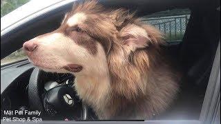 Chó Mật trộm xe ô tô của chủ đi chơi - tháo nẹp tai mặt ngố đần max cute