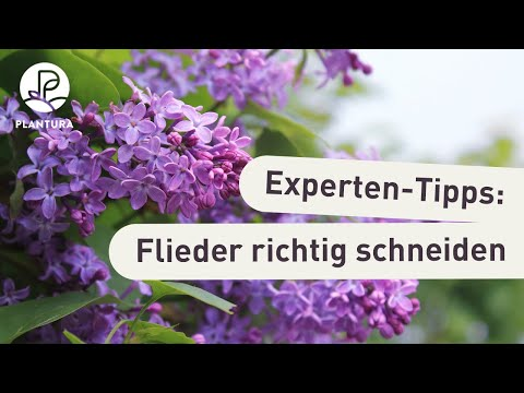 flieder schneiden unsere experten tipps video youtube. Black Bedroom Furniture Sets. Home Design Ideas