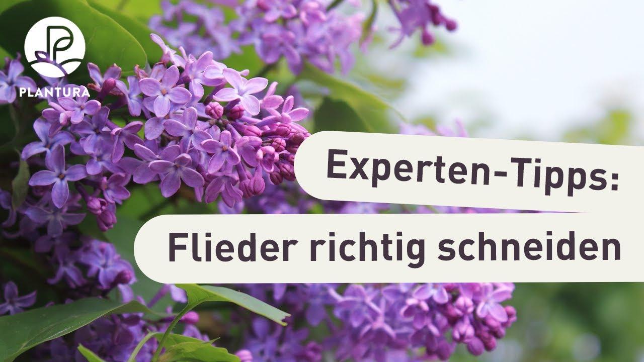Top Flieder schneiden: Unsere Experten-Tipps (Video) - YouTube &EZ_17