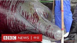 日本捕鯨恢復:為何家長帶小孩參觀鯨魚屠宰場?- BBC News 中文