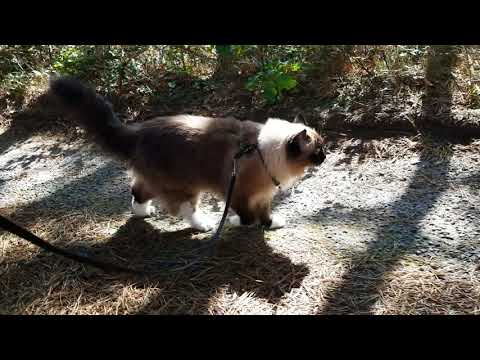 Ragdoll cat UgoChan walking to pick up newspapers, Cape Cod.