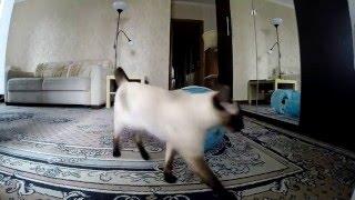 Кошки бегают и резвятся (Мальта и Декстрина)