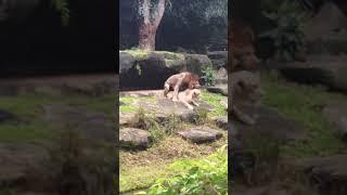 Lion Sex (Dog style)