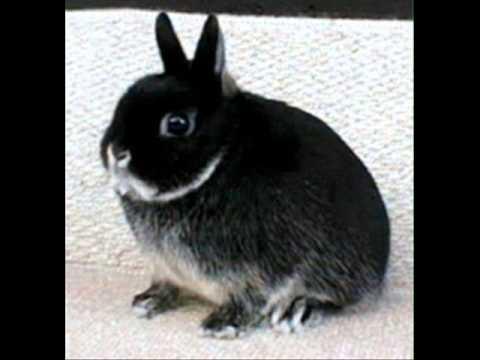 Norwegian Netherlands Dwarf Bunny