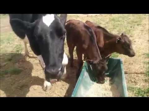 Dairy farm life in Tasmania