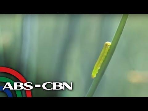 Higit 1,000 ektaryang taniman sa Pangasinan, napinsala ng 'army worms'