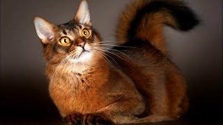 🐱 Кошка Белка - СОМАЛИ 👍 Очень РЕДКАЯ Нежная и Красивая Кошечка | Породы КОШЕК