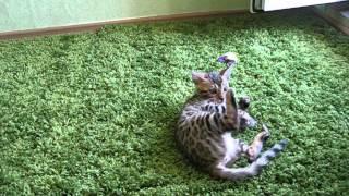 Бенгальские котята на продажу