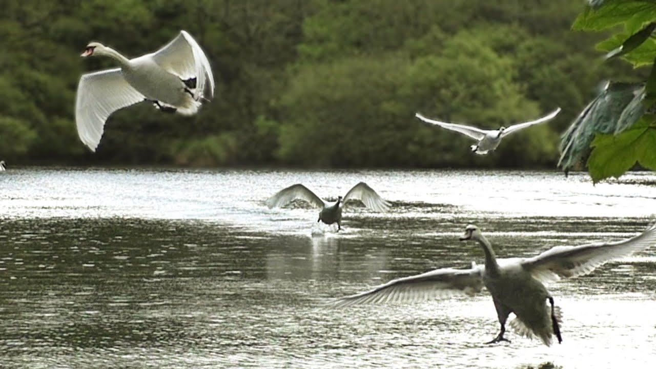 Swans Running on Water - Birds Flying in Slow Motion - YouTube
