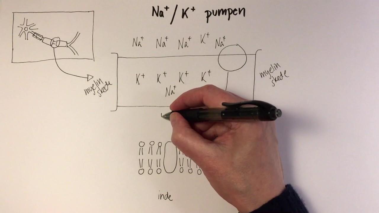 natrium kalium pumpen