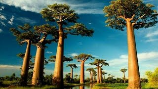 5 Most Wonderful Trees in the World