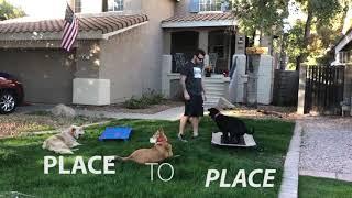 Belle 8 mo Lab Best Arizona Dog Trainers