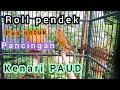Kenari Roll Pendek Pas Untuk Pancingan Kenari Paud  Mp3 - Mp4 Download