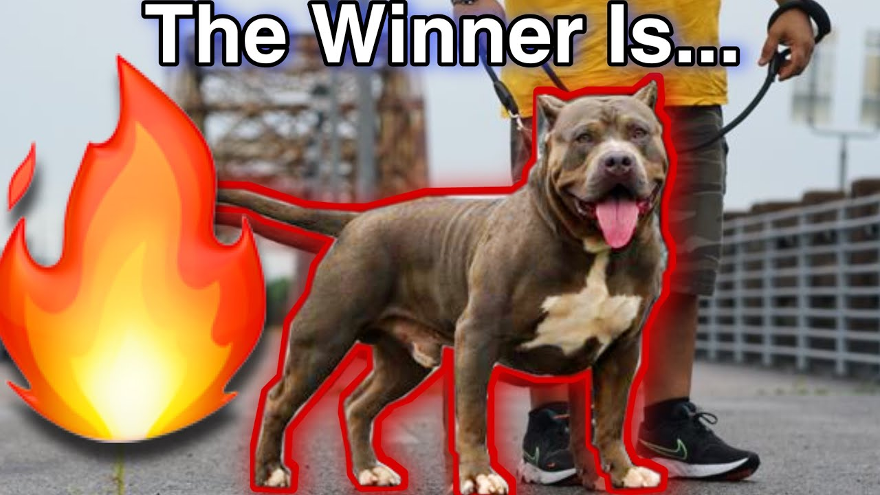 🔥🔥 UPSET‼️‼️AMERICAN BULLY ONLINE STACK OFF COMPETITION 🔥🔥
