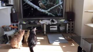 テレビに全く興味を示さなかったチビも、ウグイスの鳴き声を聞くと・・・