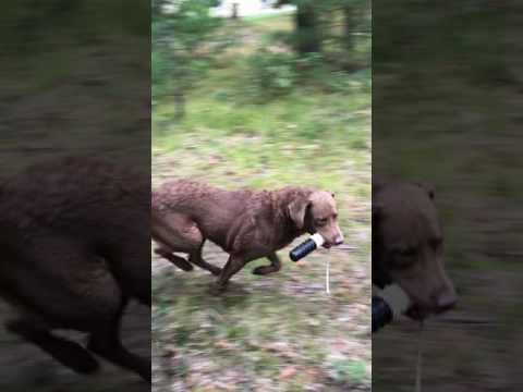 Chesapeake Bay Retriever Retrieving Training Bumper