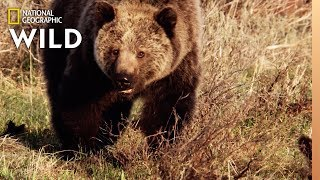 Grizzly Bears: The Fierce Predator of the North | Nat Geo Wild