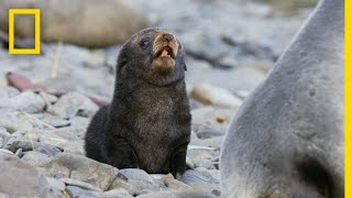 Fur Seals Overcome Extinction On 'Resurrection Island' – Ep. 1 | Wildlife: Resurrection Island