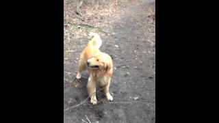 Golden Retriever Zoomies