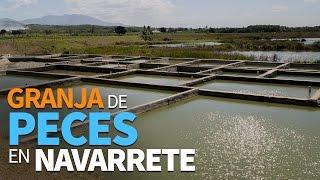 producci n de peces en estanque rep blica dominicana idiaf