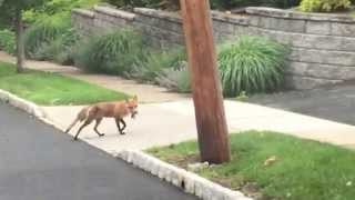 Fox gets road kill in Verona, NJ