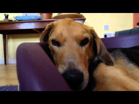 Parker the Kerry Beagle closeup