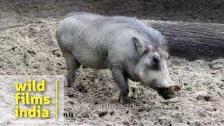 Warthog -  Pumba