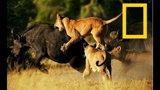 Wildlife Africa - Predators Survival Strategies - (Nat Geo Wild)