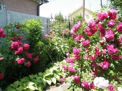 Обрезка и формирование плетистой розы весной