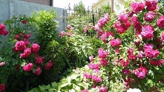 Обрезка и формирование плетистой розы весной(, 2016-04-04T17:08:41.000Z)