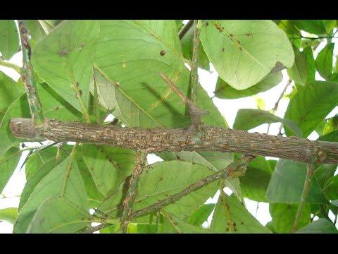 Простейший метод лечения лимона от щитовки!!! Diaspididae treatment.   разведение   окулировк   калировка   условиях   растений   домашних   болезни   лимона   лимон   lemon