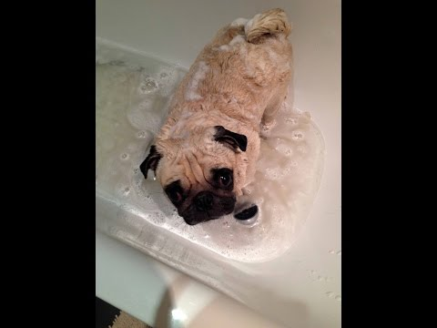 Dogs really hate bath time - Funny dog bathing compilation Pug