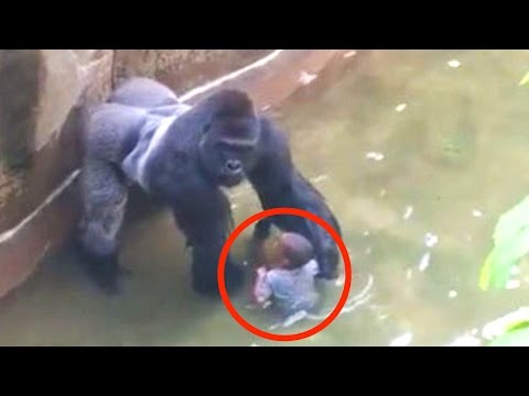 Kind fällt in Gorilla-Gehege - RIP Harambe