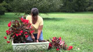 How to Replant Begonias : Begonias