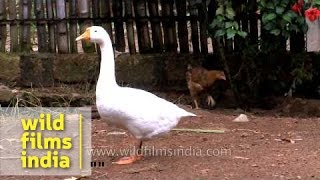 Poultry farm at Punnamada resort, Alappuzha
