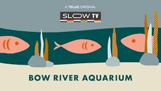 Slow TV: Bow River Aquarium thumbnail
