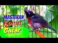 Masteran Konin Gacor Emosi Full Isian Mewah Toman Net  Mp3 - Mp4 Download