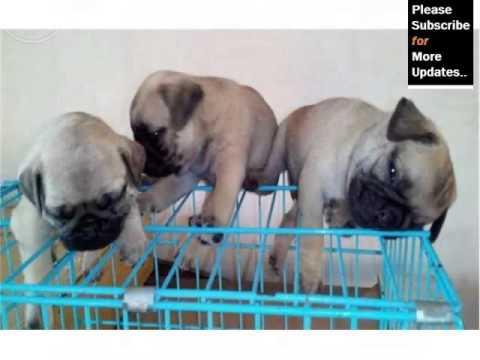 Pugpug Dog Breed | Dog Type Pugpugbreed Set Of Picture Ideas