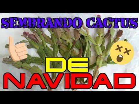 Plantaci n por esqueje cactus de navidad cactus de for Cactus de navidad