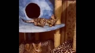 бенгальская кошка - питомник кошек Lantana Fly -