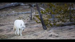 Video Earthcast SOS - White Lady Wolf Murdered download MP3, 3GP, MP4, WEBM, AVI, FLV Mei 2017