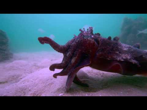 Cuttlefish Eats Fish Alive.