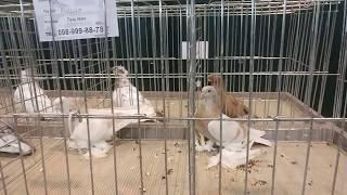 Выставка декоративных голубей. Город  Львов  (12.11.2017)