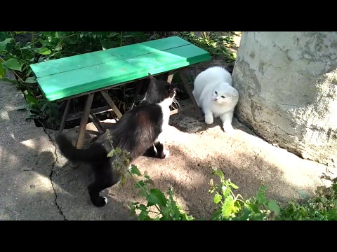Turkish angora cat hissing and growling. Angora cat socializing with other felines