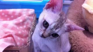 首を傾げる子猫 Kitten that inclines neck