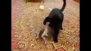 Кот против горностая, прикольное видео, приколы с животными.
