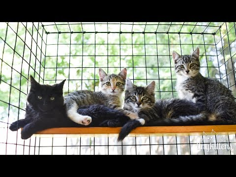 Feral kittens evacuated from the #BCWildfires - TinyKittens.com