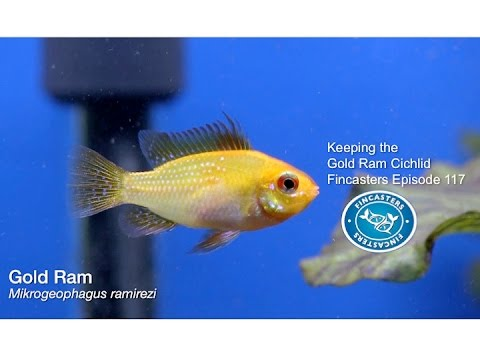 Keeping The Gold Ram Cichlid Fincasters Episode 117