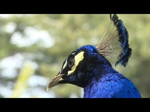 Peacocks Overrun Frustrated B.C. Community